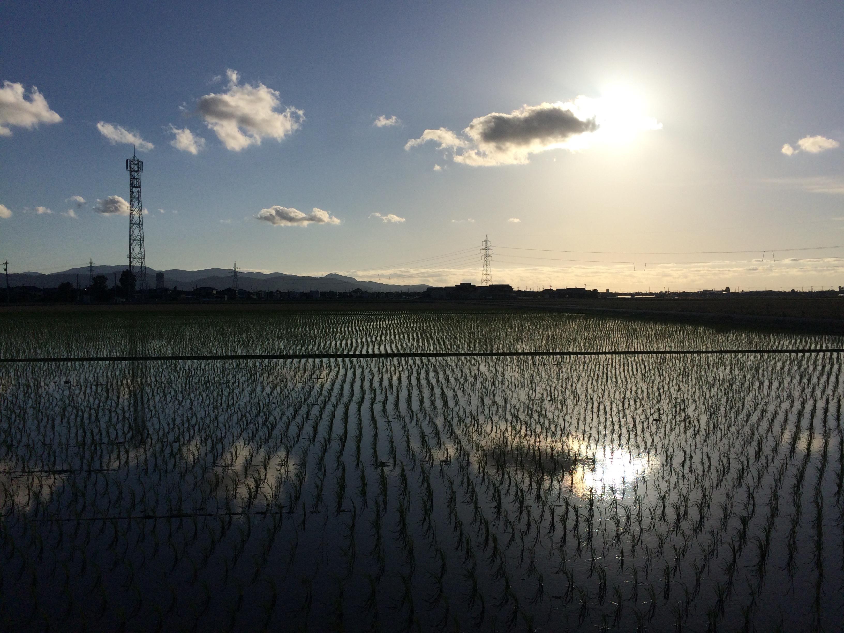 Rice Fields in Sakai City